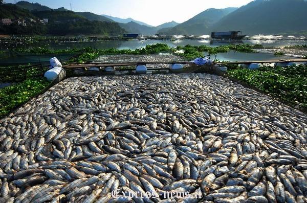Massiccia moria di pesci in uno stagno cinese notizie for Pesci di stagno
